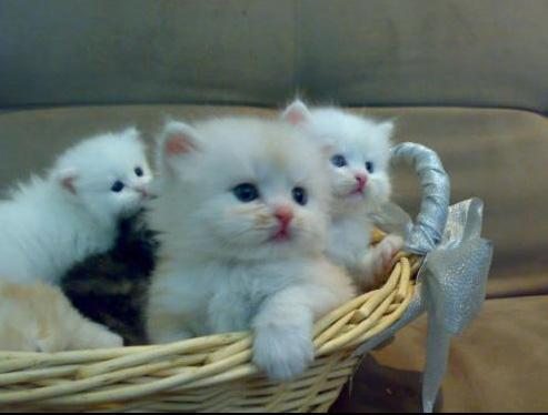 صورة مواصفات القطط الشيرازى , اجمل صور القطط unnamed file 10