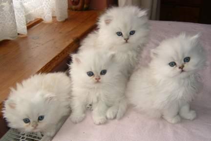 صورة مواصفات القطط الشيرازى , اجمل صور القطط unnamed file 11