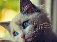 صورة مواصفات القطط الشيرازى , اجمل صور القطط