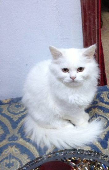 صورة مواصفات القطط الشيرازى , اجمل صور القطط unnamed file 3