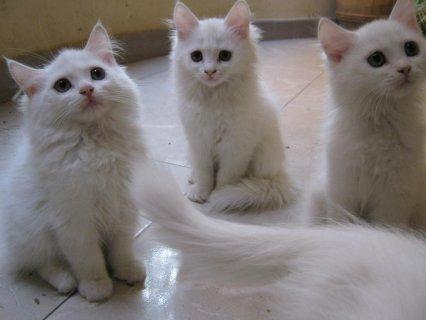 صورة مواصفات القطط الشيرازى , اجمل صور القطط unnamed file 5