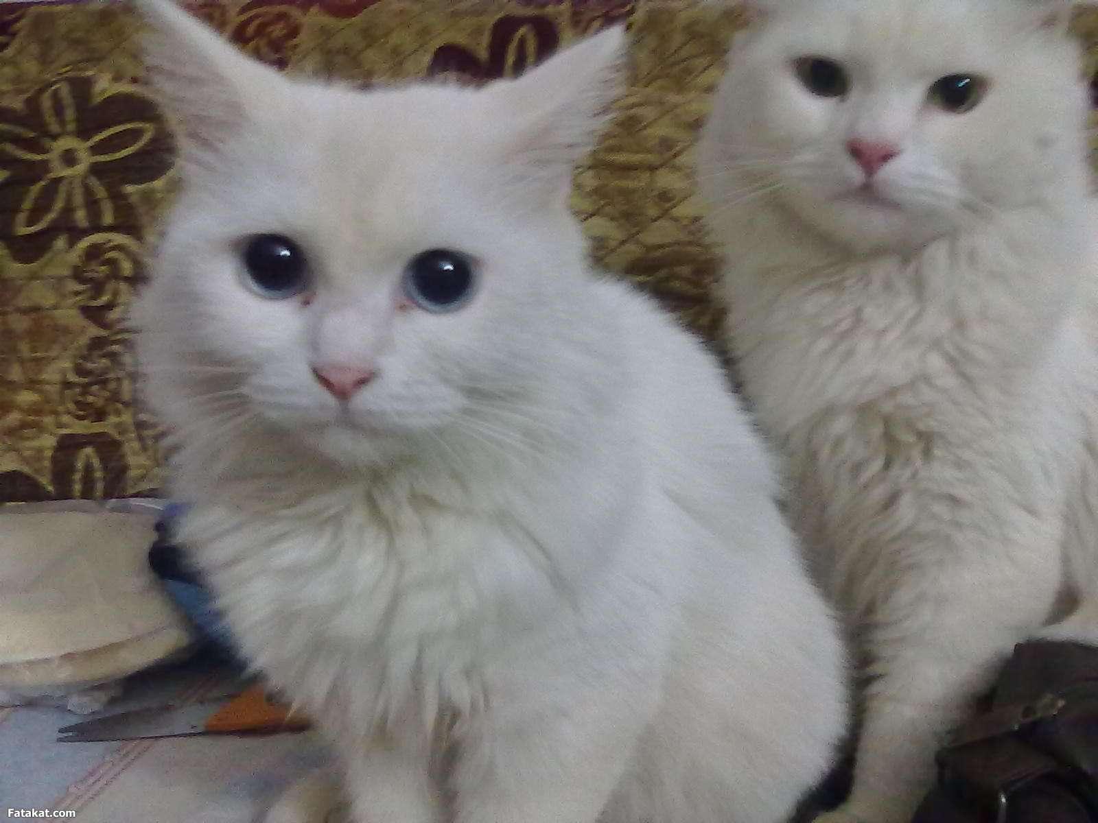 صورة مواصفات القطط الشيرازى , اجمل صور القطط unnamed file 6
