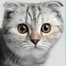 صورة مواصفات القطط الشيرازى , اجمل صور القطط unnamed file 7