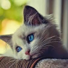 صورة مواصفات القطط الشيرازى , اجمل صور القطط unnamed file 9