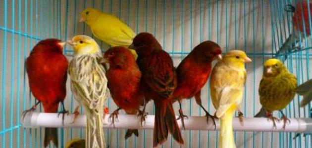 صورة صوت عصافير كناري , عصافير الكناري وجمال صوتها