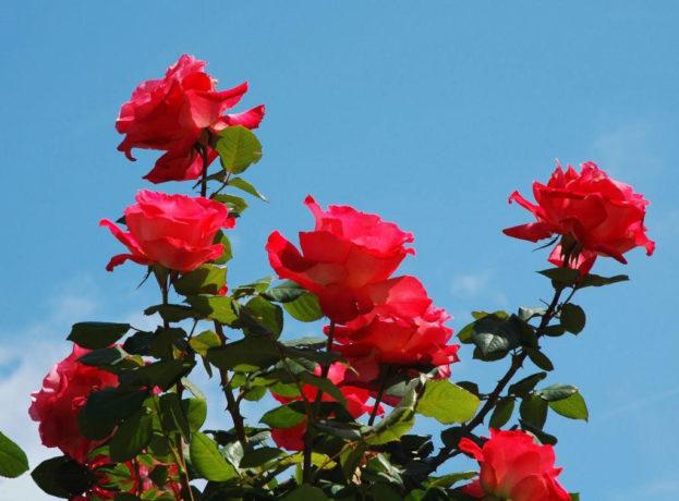 صور اجمل ورد , صور لاجمل الورود