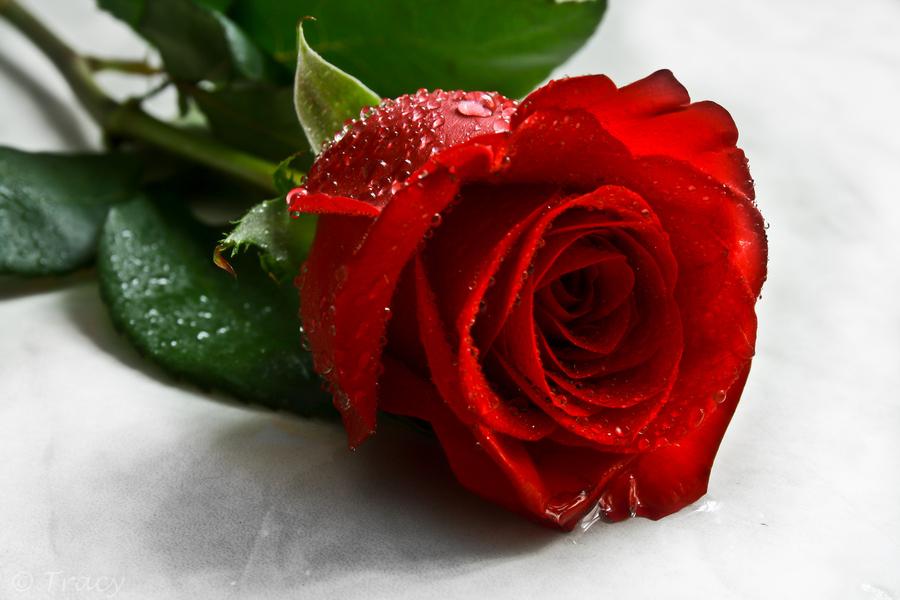 بالصور خواطر عن الورد , اجمل كلام عن الورد 5710 8