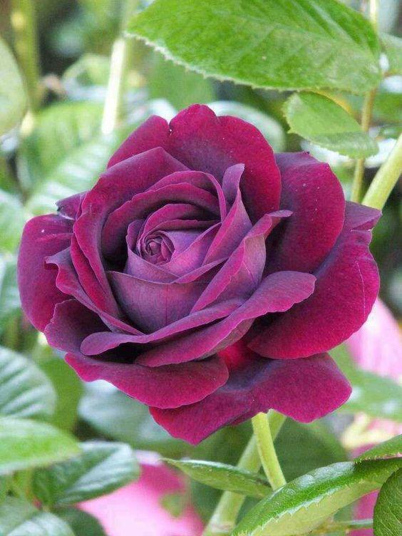 بالصور صور ورود حلوه , احلي الورود بانواعها المختلفة 5860 10