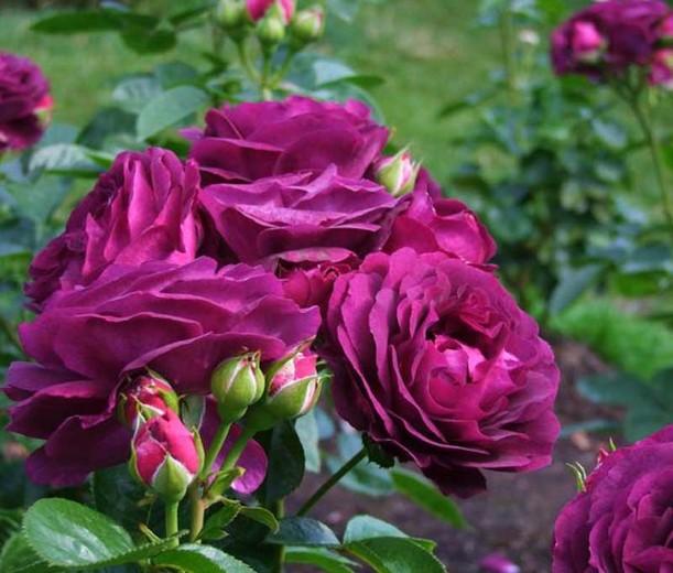 بالصور صور ورود حلوه , احلي الورود بانواعها المختلفة 5860 11