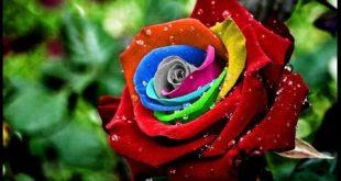 صور ورود حلوه , احلي الورود بانواعها المختلفة