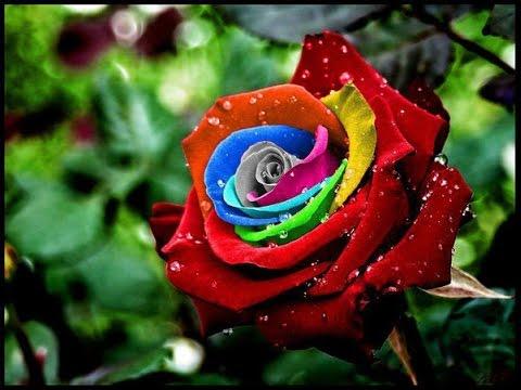 صورة صور ورود حلوه , احلي الورود بانواعها المختلفة