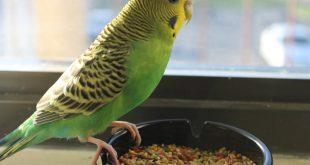 صورة عصافير الزينة , اجمل الصور لعصافير الزينه