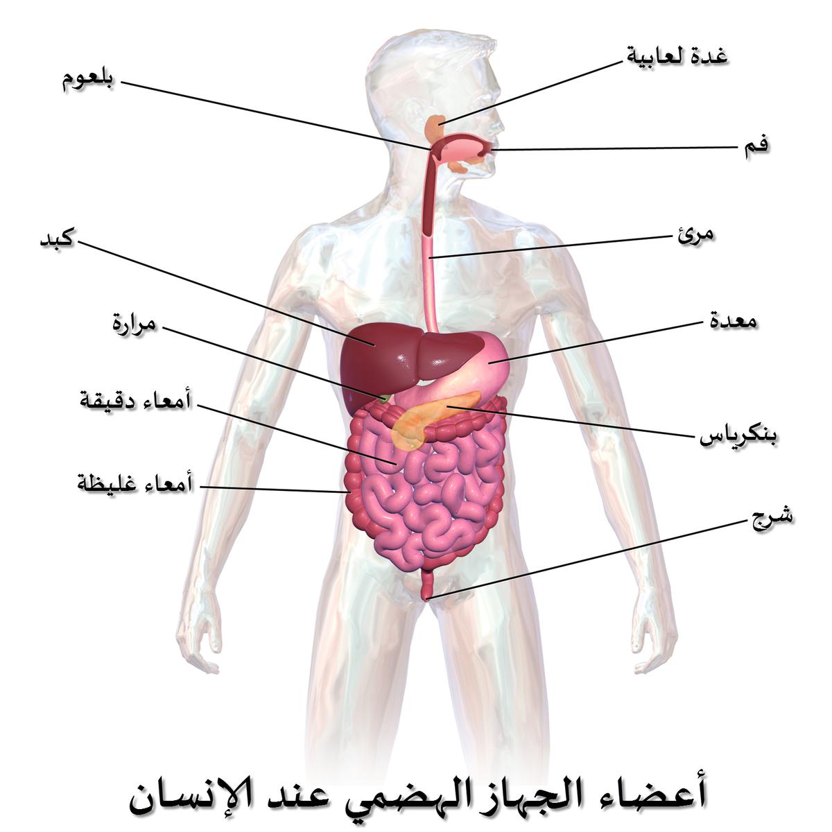 صورة جسم الانسان بالصور , اعضاء الجسم للانسان
