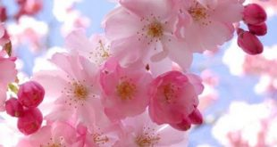 صورة خلفيات زهور , ارق واجمل صور خلفيات زهور