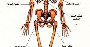 صور صور جسم الانسان , صور توضحيه لاعضاء جسم الانسان