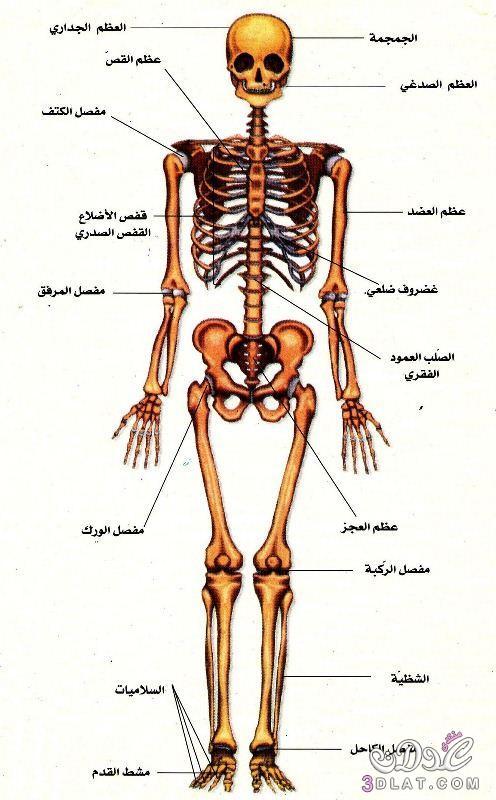 صورة صور جسم الانسان , صور توضحيه لاعضاء جسم الانسان