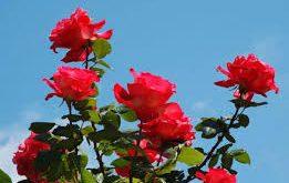 بالصور احلى صور ورد , روعة وجمال صور الورود 4693 12 261x165
