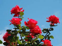 صوره احلى صور ورد , روعة وجمال صور الورود