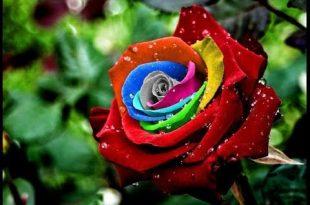 صوره صور ورود جميلة , اجمل صور خلفيات الورود