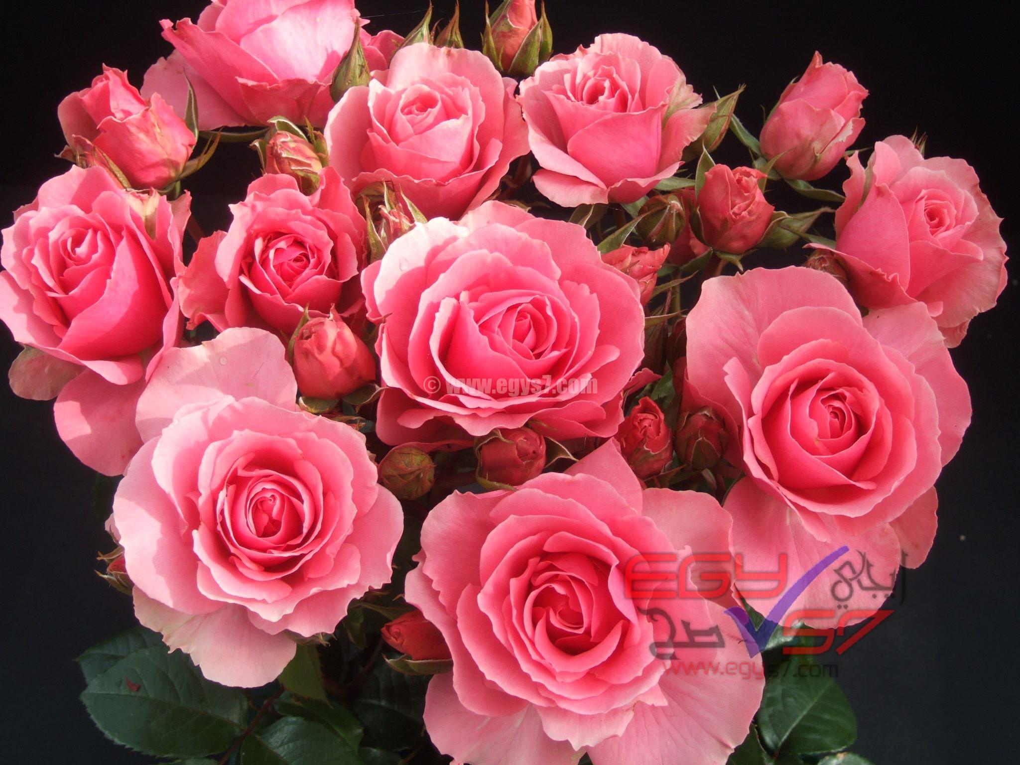صور ورود جميلة اجمل صور خلفيات الورود كيوت