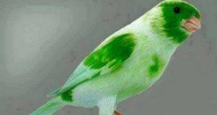 صورة اجمل كناري في العالم , افضل واروع انواع الكنارى