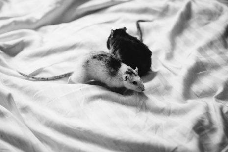 بالصور رؤية الفئران الميتة في المنام , تفسير الحلم بفئران ميتة 11385 2