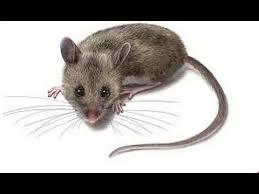 بالصور رؤية الفئران الميتة في المنام , تفسير الحلم بفئران ميتة 11385 3