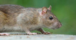 بالصور رؤية الفئران الميتة في المنام , تفسير الحلم بفئران ميتة 11385 4 310x165