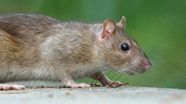 بالصور رؤية الفئران الميتة في المنام , تفسير الحلم بفئران ميتة 11385