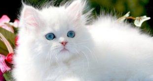 بالصور القط في المنام , القطط وتفسيرها في المنام 11432 2 310x165