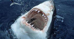 صور بالصور سمك القرش , سمك القرش المختلف