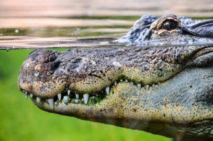 صورة التمساح في المنام , تفسير الحلم بالتمساح