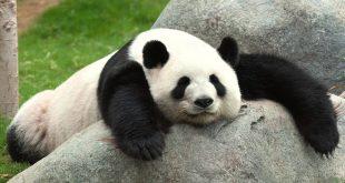 صورة معلومات عن دب الباندا , حقائق عن دب الباندا