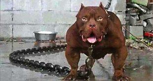 صورة اخطر انواع الكلاب , معلومات مهمة عن خطورة الكلاب