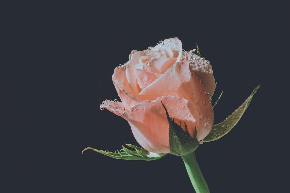 صورة فوائد ماء الورد , اهم فوائد ماء الورد المتعددة