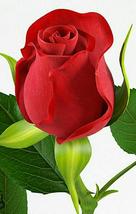 صورة صور اجمل ورد , الورد وطبيعته الجذابة صور تجنن ❤️ 6504 1