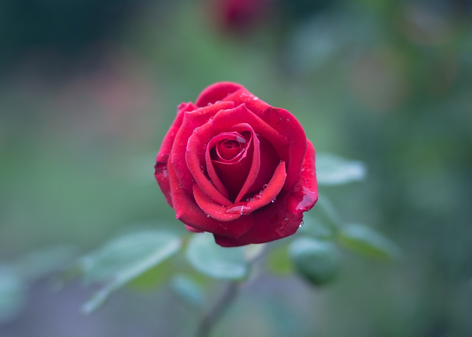 صورة صور اجمل ورد , الورد وطبيعته الجذابة صور تجنن ❤️ 6504 4