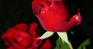 صورة زهور الحب , انواع زهور الحب