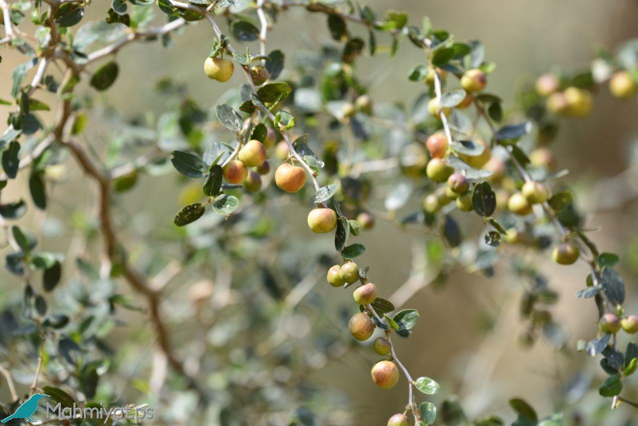 صورة ما هو السدر , معلومات مفيدة عن نبتة السدر 680 5