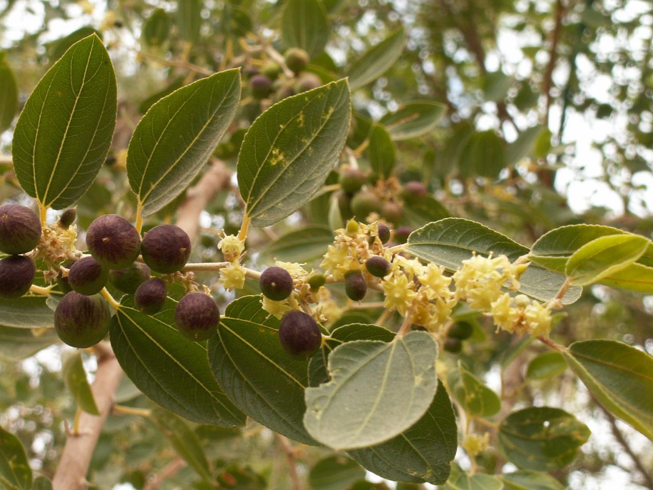 صورة ما هو السدر , معلومات مفيدة عن نبتة السدر