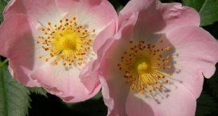 من الزهور 5 حروف