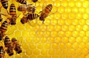 صورة معلومات عن النحل وفوائده 10960 1 310x205
